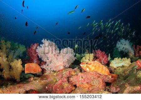 Coral reef, scorpionfish, grouper in sea