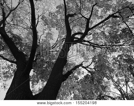 Black and white image of dark tree trunks and branches starting from the bottom left corner with shades and shapes of softening, shimmering leaves and sky in the background of this upward vantage point.