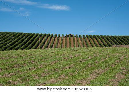 Vineyard to the horizon.