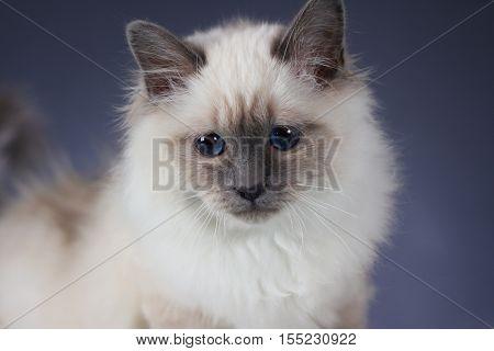 handsome cat in studio close-up luxury cat studio photo blue background isolated