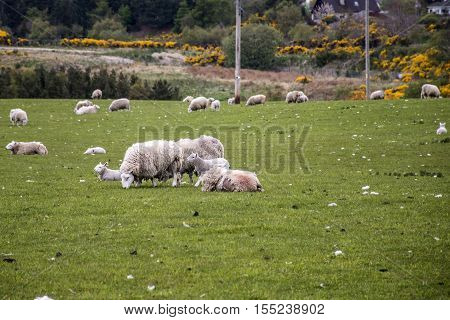 Sheep herd with baby sheep farm on green gras in scotland