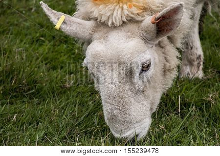 Sheep herd with baby sheep farm on green gras in scotland closeup