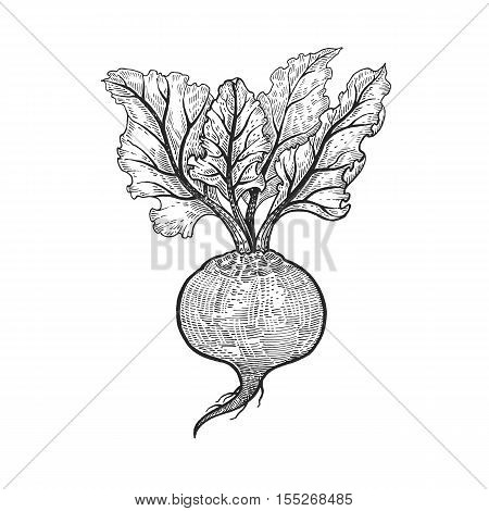 Vegetables. Beets. Vector illustration. Hand drawing style vintage engraving. Black and white.