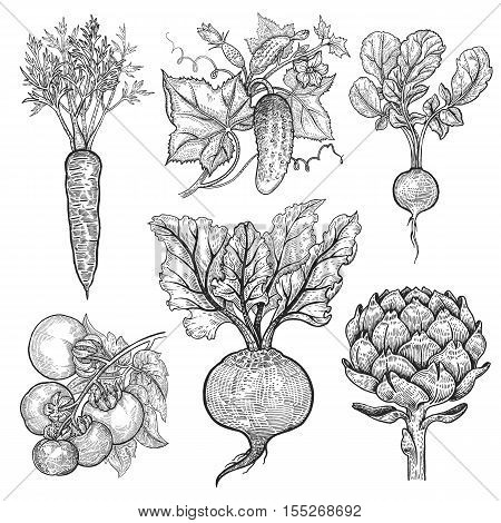 Vegetables. Cucumber tomato radish carrots beets artichoke. Vector illustration. Hand drawing style vintage engraving. Black and white.