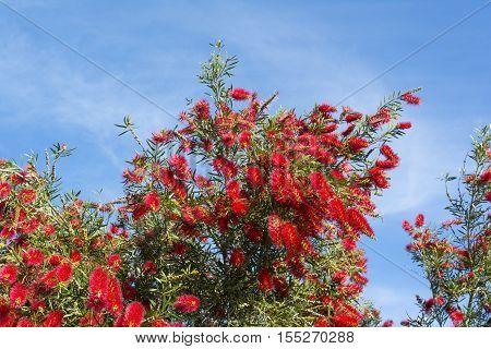 Callistemon Citrinus Flowering Shrub - Top Half - Crimson Red Bottlebrush