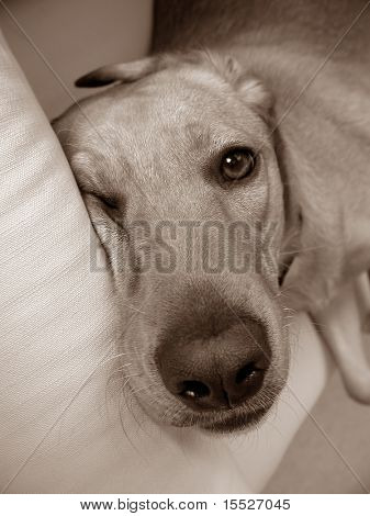 A labrador retriever sleeping on a sofa