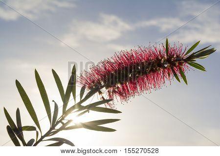 Single Callistemon Citrinus Flower - Crimson Red Bottlebrush