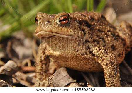 Toad. Amphibian during the spring awakening and mating