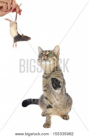 cat looks at a mouse isolated on white, studio shot