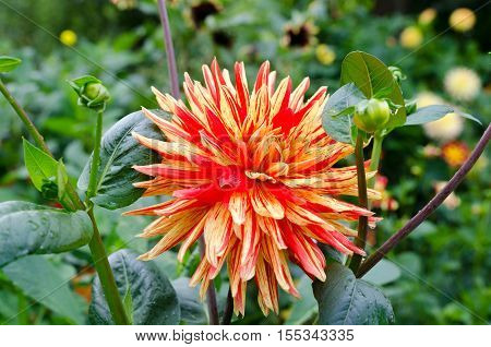 a great and beutiful flower from the family dahlia the name is Striped Vulcan