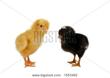 Yellow And Black Chicks