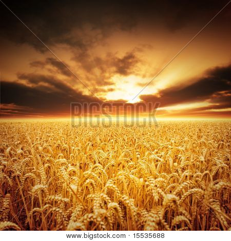 Golden fields of beautiful wheat.