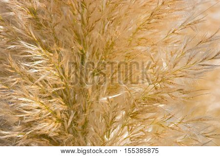 Golden reed or long eared grass texture closeup