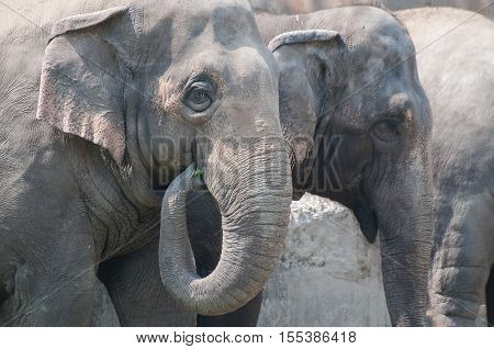 Close-up of Indian elephants (Elephas maximus indicus) eating green grass Kolkata West Bengal India