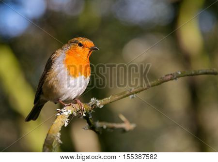 Robin redbrest bird perched in sunlight on a twig in a forest.
