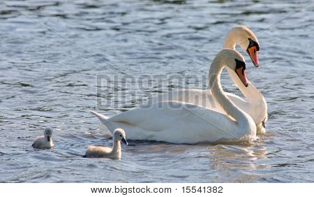 couple of white swans and young cygnets