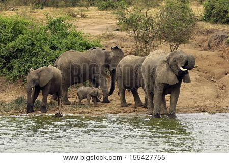 Elephant Family (Loxodonta Africana) Drinking at the River Bank of Kazinga Channel. Queen Elisabeth National Park Uganda