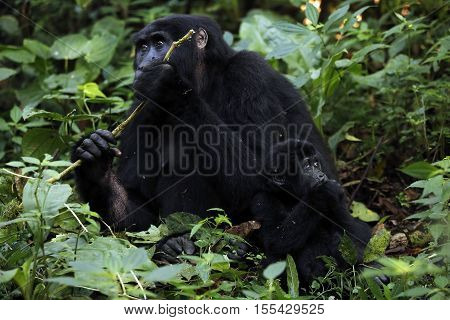 Mother and Baby of Mountain Gorilla (Gorilla beringei beringei) Feeding in the Forest. Bwindi Impenetrable National Park Uganda