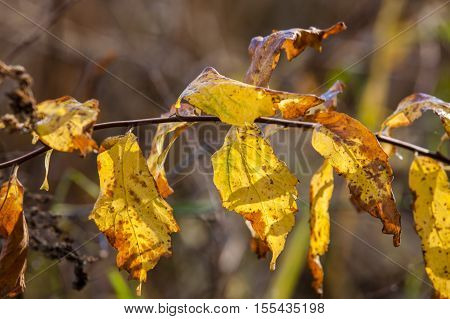 A close up image of yellow wilting leaves on a small branch.