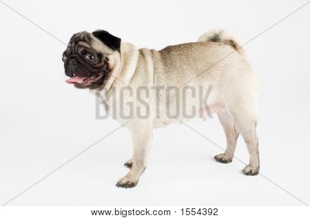 A Stand Pug, Isolated On White Background