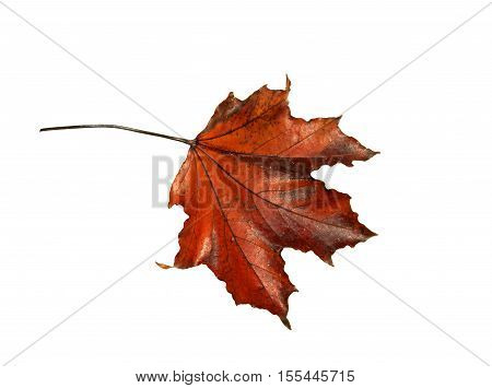 single wilted red maple leaf on a white background
