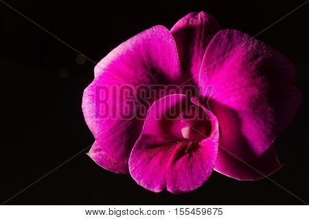 Loew Key Photo Of Vanda Orchid, Violet Orchid, Macro Orchid, Closeup Orchids, Orchid With Pollens, B