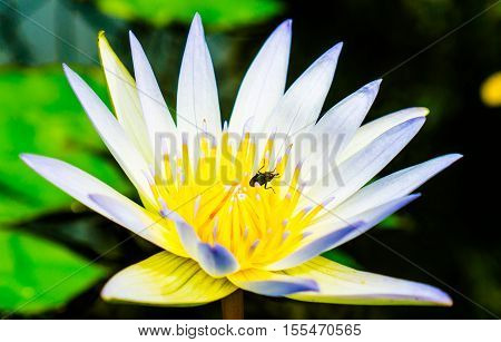 Close up small blooming white lotus in the pond with aphid on carpel