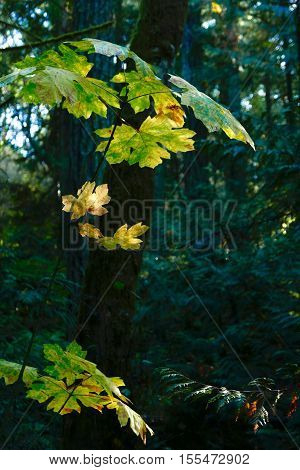 The autmun leaves of a Big Leaf Maple glow in the shade of the forest on Vancouver Island lit by a shaft of sunlight.