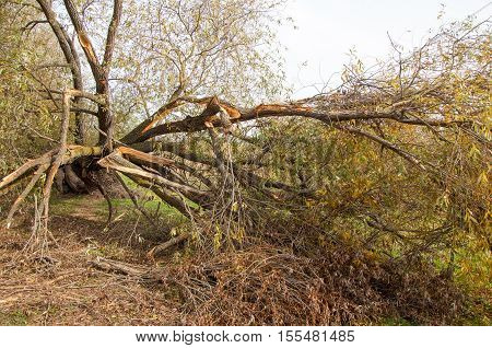 In The Fall Of A Tree Fell In The Storm Water. Forcible Violation Of The Atmosphere With Strong Wind