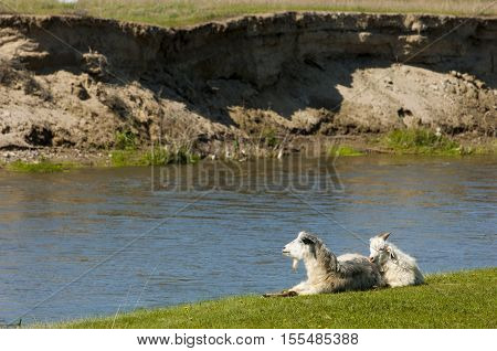 Goats Grazing Sheep Near The River