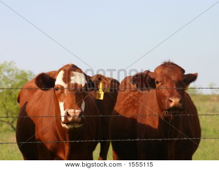 Cows At Fence