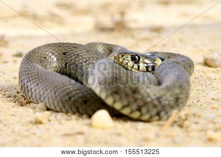 juvenile natrix basking on ground ( grass snake )