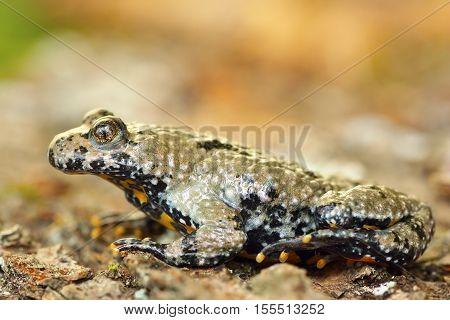 macro image of Bombina variegata the yellow bellied toad full length