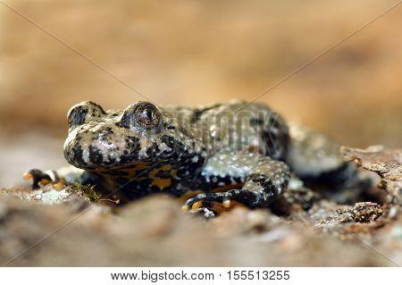 macro image of yellow bellied toad ( Bombina variegata )