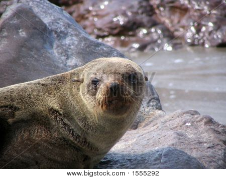 Female Sealion