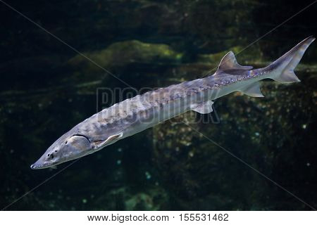 European sea sturgeon (Acipenser sturio), also known as the Atlantic sturgeon.