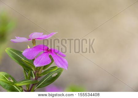 Purple Catharanthus roseus flowers. Pink Wildflower with clear background.