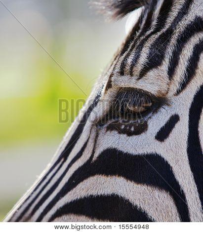 Zebra Head And Eye
