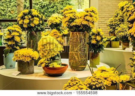 Chrysanthemum flowers, park Keukenhof - flower garden, Holland