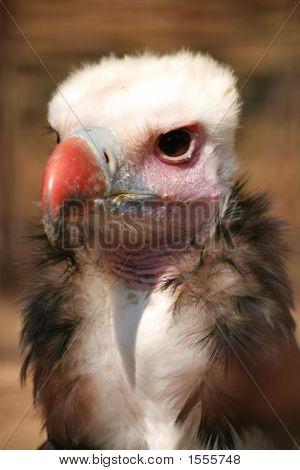 Vulture (1855)