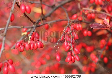 close photo of some red berries of Japanesse barberry (Berberis thunbergii) on the twigs in autumn