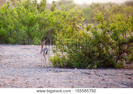 Small gazelle on Sir Bani Yas island UAE