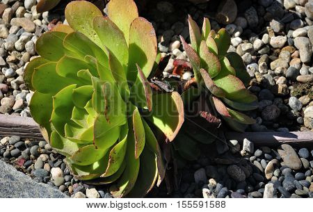 The succulent hens and chicks (Crassulaceae) cactus in a rock garden in the California sunlight.