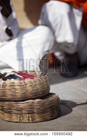 Indian cobra looking out of the basket fakir Jaipur