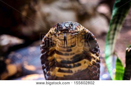 King Cobra snake in Uganda Africa close up
