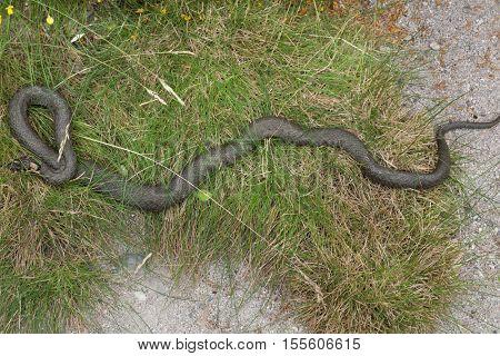 Grass snake (Natrix natrix), also known as the water snake. Wildlife animal.
