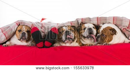 santa in a bed with four bulldogs at his feet