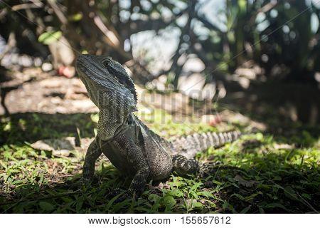 Eastern Water Dragon - Reptile - Coolangatta, Queensland, Australia
