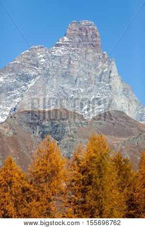 The south face of the Matterhorn view through a frame of larch trees in autumn. The Alps, Italy, Europe.