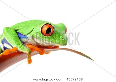 Frog On Leaf Isolated White